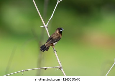 white-rumped munia or white-rumped mannikin, sometimes called striated finch in aviculture, is a small passerine bird from family of waxbill `finches`. These are close relatives of the true finches.
