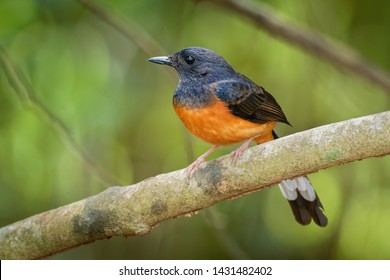 White-rumped Shama - Copsychus malabaricus small passerine bird of the family Muscicapidae. Native to densely vegetated habitats in the Indian subcontinent and Southeast Asia.