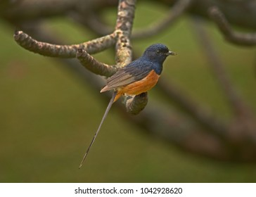 White-rumped Shama Thrush (Copsychus malabaricus) is a songbird species introduced to the Hawaiian Islands from southern Asia and India.  It has a wonderful song and can often be easily approached