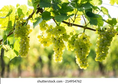 Whites grapes (Pinot Blanc) in the vineyard, Alsace, France