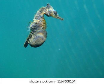 White's Seahorse Hippocampus whitei, White's Seepferdchen-Pregnant Male
