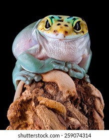 A whites tree frog has the head of a leopard gecko.
