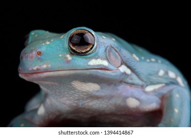 White's Tree Frog (Litoria caerulea) is a popular pet frog species and is being bred in a variety of colors.