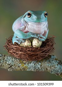 A whites tree frog is sitting on some bird eggs as if they were her own.