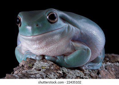 A whites tree frog is staring at the camera while sitting on a log.