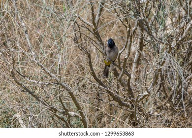 White-spectacled bulbul sitting  in a dry bush