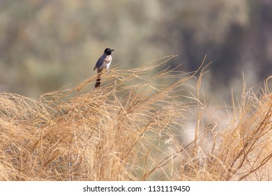 White-spectacled bulbul sitting on a dry grass