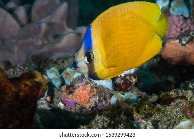Whitespotted butterflyfish or Klein's butterflyfish (Chaetodon kleinii), yellow with blue stripe in face.
