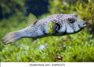 White-spotted puffer (Arothron hispidus). Marine fish.