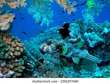 White-spotted Puffer Fish in Tubbataha. The Tubbataha Reef Marine Park is UNESCO World Heritage Site in the middle of Sulu Sea, Philippines.