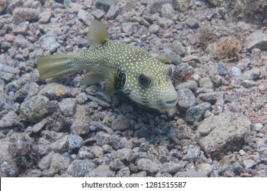 White-Spotted Puffer on Coral Reef in Red Sea off Dahab, Egypt