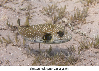 White-Spotted Puffer over Seagrass in Red Sea off Dahab, Egypt