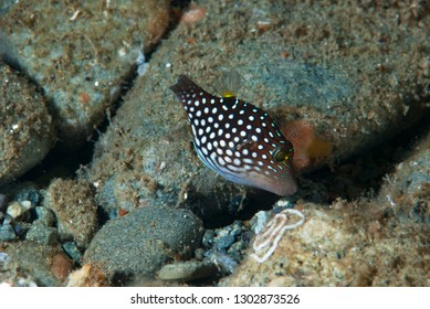 White-Spotted Pufferfish Canthigaster janthinoptera