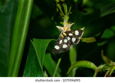 White-spotted Sable Moth collecting nectar from a Dog Strangling Vine flower. Todmorden Mills, Toronto, Ontario, Canada.