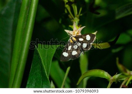 White-spotted Sable Moth collecting nectar from a Dog Strangling Vine flower. Todmorden Mills Park, Toronto, Ontario, Canada.