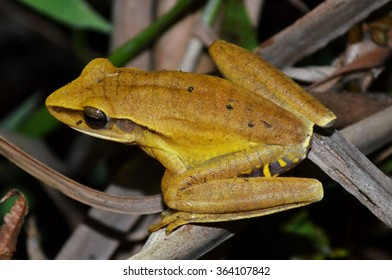 White-spotted treefrog