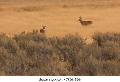 Whitetail Buck Deer in the Breeding Season