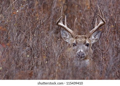 Whitetail Buck Deer in heavy brush, Adirondack Mountains, New York deer hunting season