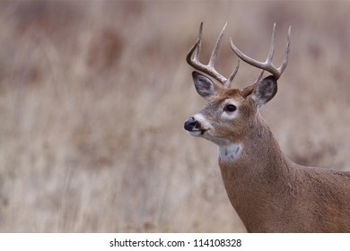 Whitetail Buck Deer; midwest / midwestern White tail deer hunting; white-tail / white tailed / white-tailed / whitetailed
