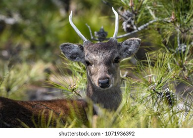 Whitetail Buck Deer in natural habitat, head turned over back