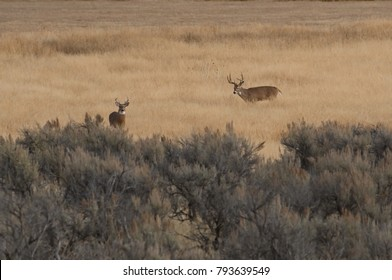 Whitetail Buck Deer in the Rut