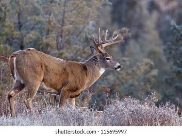 Whitetail Buck Deer Stag, Adirondack Mountains, upstate New York deer hunting season