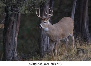 Whitetail Buck Deer standing alert at a scrape