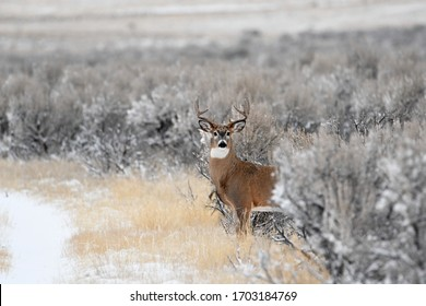 Whitetail buck deer stepping out of the sage brush onto a trail