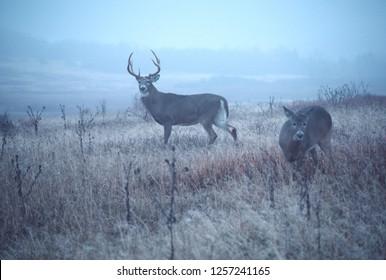 Whitetail Buck, doe misty November day in Appalachian Mountains
