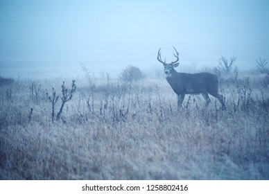 Whitetail Buck misty November day in Appalachian Mountains