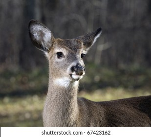 whitetail buck near a forest edge with his first antler growth