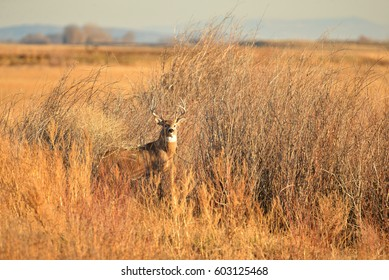 Whitetail Buck Standing in Brush