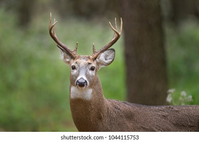 A Whitetail Buck stands tall in the forest with a green background in soft light.