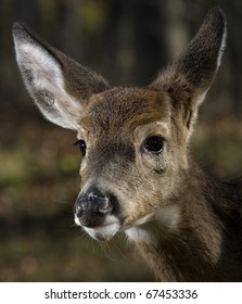 whitetail buck that is growing its first set of antlers