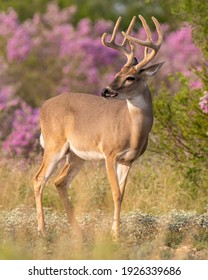 Whitetail buck with velvet antlers in South Texas