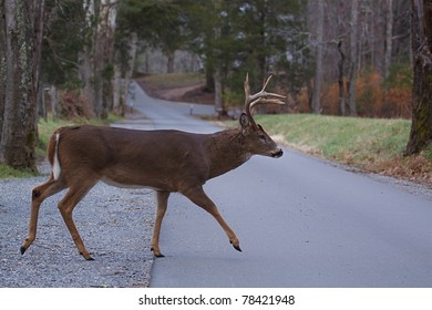 Whitetail Buck walking across park road, Great Smoky Mountains National Park