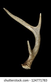 Whitetail Deer Antler Isolated on Black