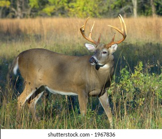 Whitetail deer buck.