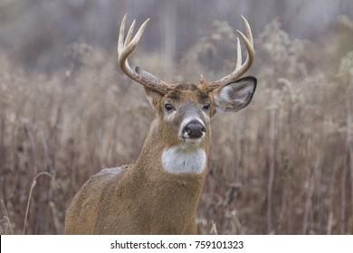 whitetail deer buck in autumn