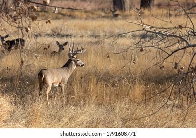 Whitetail Deer Buck in Autumn in Colorado