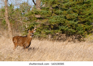 Whitetail Deer Buck standing in a field.