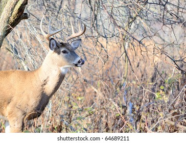 Whitetail deer buck standing in the woods in the Autumn rutting season.