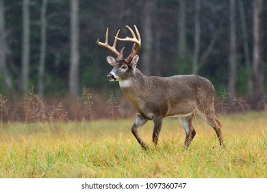 Whitetail deer in Cades Cove Smoky Mountain National Park, Tennessee