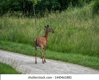 Whitetail deer crossing a public parkland walking trail in the heart of a Canadian city