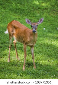 Whitetail deer doe on the grass that is covered with flies