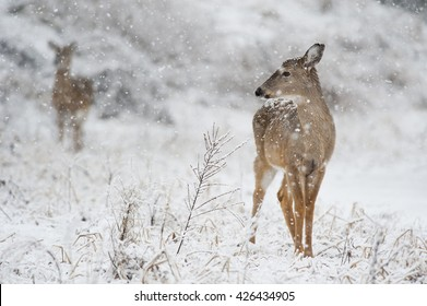 A whitetail deer doe stands proud in the falling snow.