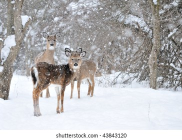 Whitetail deer doe and yearlings standing in the woods in winter snow.