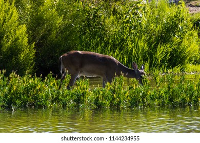 A Whitetail Deer drinking from a creek in ankle deep water in late afternoon.