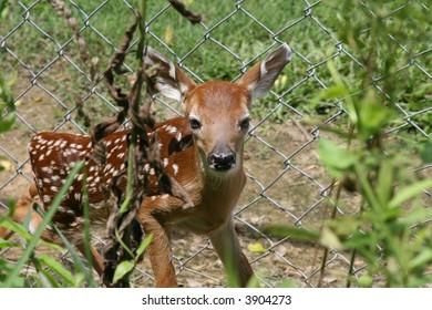 Whitetail deer fawn