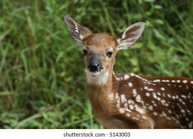 Whitetail deer fawn looking at me
